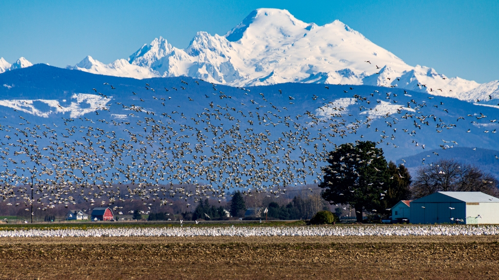 Snow geese gather in the Skagit Valley fields, in the shadow of Mt. Baker.